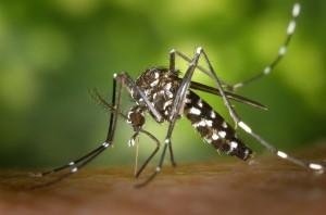 1439462431_CDC-Gathany-Aedes-albopictus-1